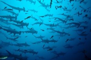 requin-marteau-hammerhead-shark-couverture-youtube