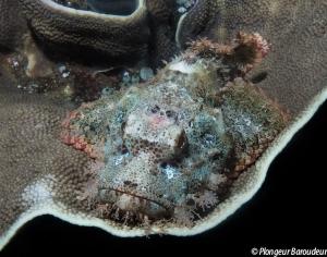 Scorpionfish 2 front 2