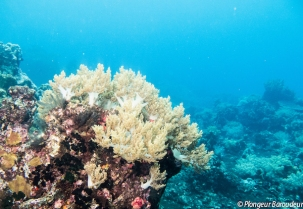 Soft coral & blue Manuk