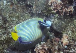 Angelfish emperor