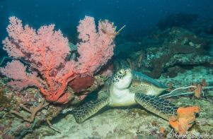 tortue-imbriquee-hawksbill-turtle- gili-island