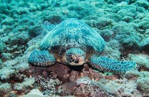 tortue-verte-green-turtle- gili-island