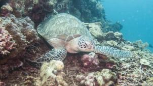tortue-verte-green-turtle- gili-island2