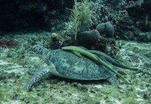 Turtle - Green turtle + raimora-min