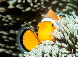 Anemonefish - clark 1