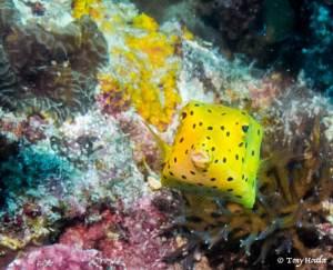 boxfish yellow